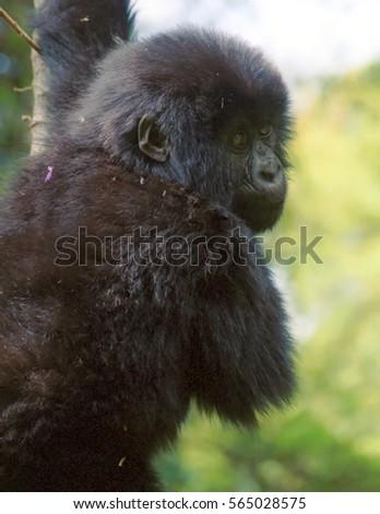 Mountain gorilla, Volcano National Park, Rwanda #565028575