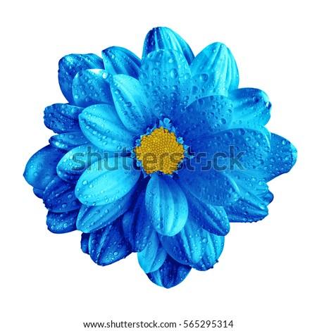 Surreal dark chrome blue gerbera flower macro isolated on white #565295314
