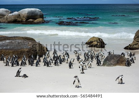 Penguins in the in the Boulders Beach Nature Reserve. Cape Town, South Africa Royalty-Free Stock Photo #565484491