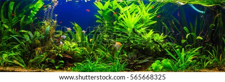 fish in freshwater aquarium with green beautiful planted tropical