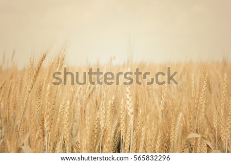 Closeup of field of golden wheat #565832296