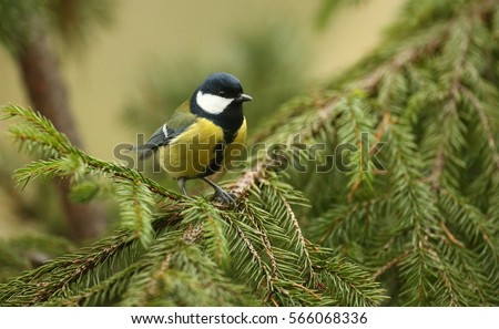 Parus major, Great Tit The great tit is a passerine bird widespread and common species throughout Europe   #566068336