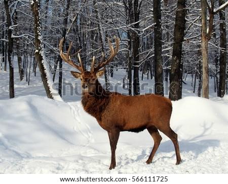 Caribou Buck Royalty-Free Stock Photo #566111725