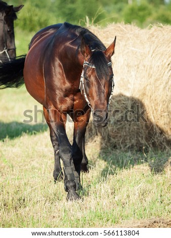 walking  Bay sportive horse  in field with haystack #566113804