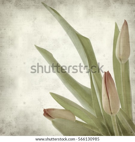 textured old paper background with redand yellow tulip #566130985