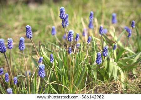 Hyacinth muscari - spring flowers. Growing up on a green grass background. #566142982
