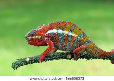 Beautiful of chameleon panther, chameleon panther on dry leaves, chameleon panther closeup face, Chameleon panther shoot on target #566808373