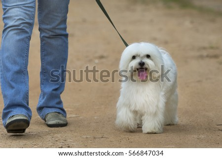 White Maltese dog walking with owner #566847034