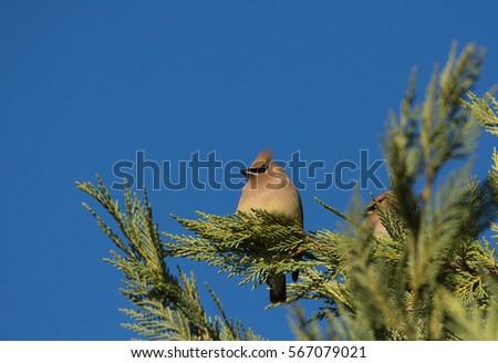 Cedar Waxwing perched on Juniper branch #567079021