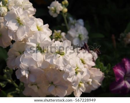 Double-flowered stock, white Matthiola incana 'Albita'