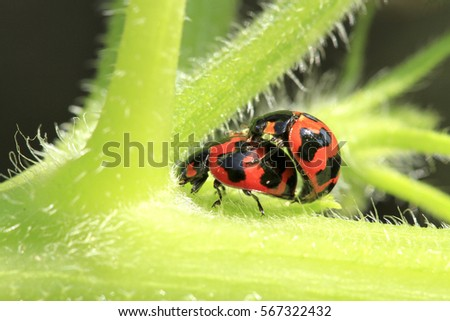 Ladybug mating in the gardens in close up #567322432