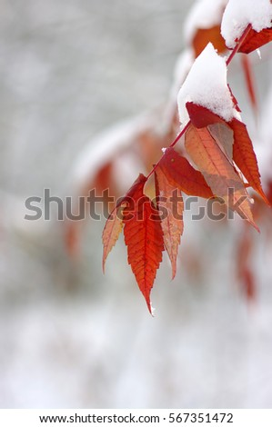 Yellow leaves in snow. Late fall and early winter. Blurred nature background with shallow dof. #567351472