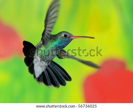 Broad-billed hummingbird,Ash Canyon,Huachuca Mountains,AZ,USA.