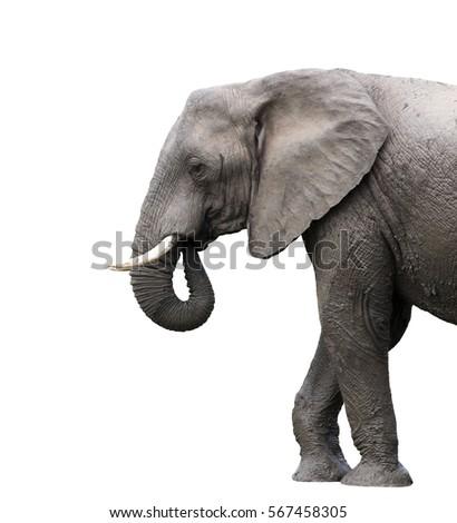 elephant isolated on white background #567458305