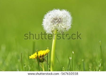 Taraxacum or Dandelion #567610558