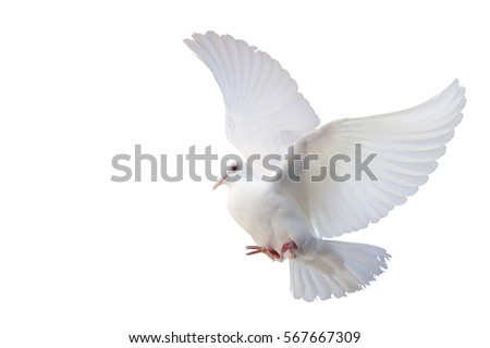 White Dove freedom Wings of Liberty sides are flying isolated on white background. This has clipping path.                        #567667309