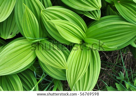 green plant in the spring in the valleys of Trentino south tyrol #56769598