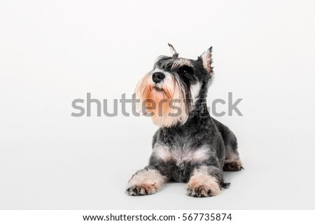 Miniature Schnauzer dog on the white background #567735874