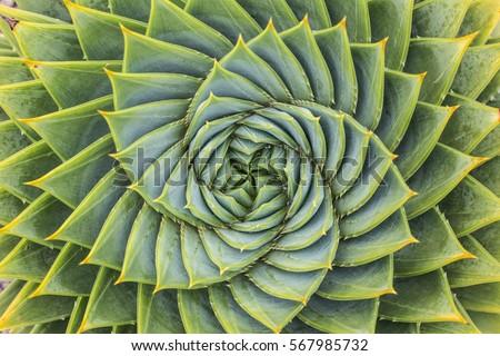 Aloe Polyphylla Royalty-Free Stock Photo #567985732