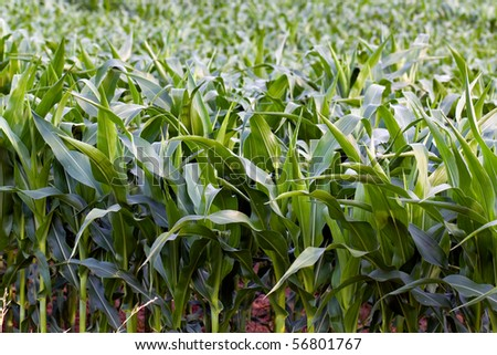 field of maize #56801767
