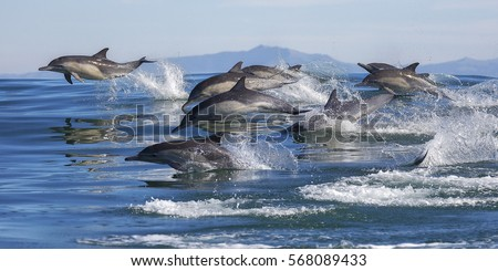 A pod of long-beaked common dolphins leap out of the water in Monterey Bay, California.  #568089433