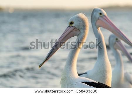 A pelican floating in water near Golden Beach on the Sunshine Coast, Queensland, Australia. #568483630