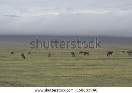 Herd of wildebeest grazing in Ngorongoro crater #568683940