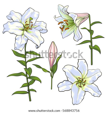 Set of hand drawn white lily flowers in side and top view, sketch style vector illustration isolated on white background. Realistic hand drawing of white lily, wedding, easter flower, symbol of love #568843756