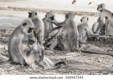 Indian Monkey also know as Indian langur, Hanuman langur, ape, semnopithecus #568967344