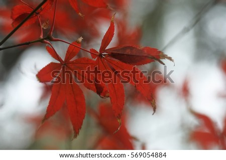 Maple leaves during autumn in Chengdu, China (Selective focusing) #569054884