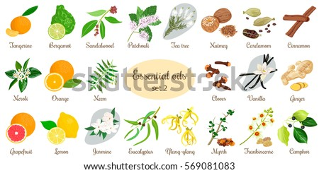 Big vector set of essential oil plants. Ylang-ylang, eucalyptus, jasmine, tea tree, bergamot, sandalwood, patchouli etc. For cosmetics, store, spa, health care, aromatherapy, homeopathy, Ayurveda #569081083