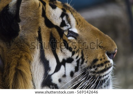 Beautiful striped tiger it is lazy lies and watches people #569142646