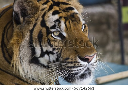 Beautiful striped tiger it is lazy lies and watches people #569142661