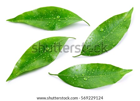 Citrus leaves with drops isolated on a white background. Collection. Full depth of field. #569229124
