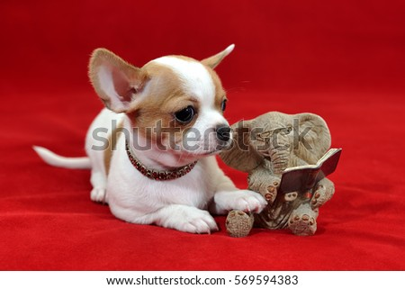 Portrait of a beautiful white with red short-hair Chihuahua puppy Sunny on red background with tiny elephant reading a book. The puppy is 2 months old on the picture.