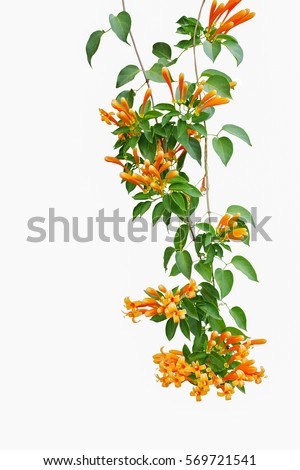 Flame vine (Pyrostegia venusta) or orange trumpet vine , liana plant with green leaves and vibrant color flowers isolated on white background, clipping path included. #569721541