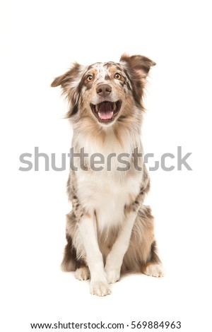 Cute sitting smiling australian shepherd facing the camera with its mouth open seen from the front on a white background #569884963