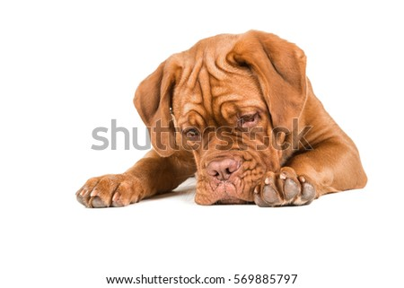Dogue de bordeaux lying on the floor staring at the floor with paws to the front isolated on a white background #569885797