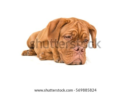 Dogue de bordeaux lying on the floor staring at the floor with paws back isolated on a white background #569885824