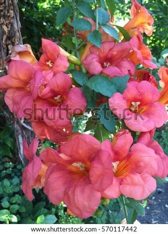 Campsis grandiflora, Chinese trumpet vine, Chinese trumpet creeper #570117442