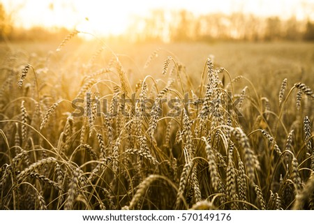 backdrop of ripening ears of yellow wheat field on the sunset cloudy orange sky background Copy space of the setting sun rays on horizon in rural meadow Close up nature photo Idea of a rich harvest #570149176