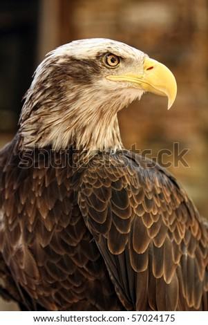 Young Bald Eagle #57024175