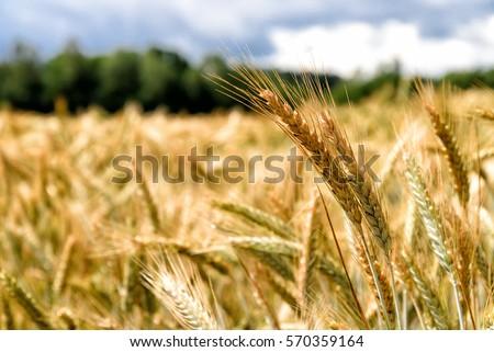 grain #570359164