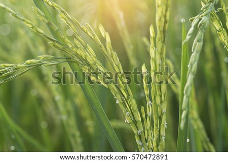 Blurry and soft focus green paddy rice field background. #570472891