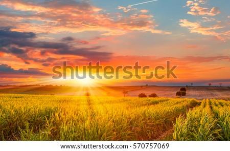 Sunrise over the corn field #570757069