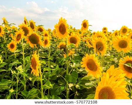 Photo picture field of blooming sunflowers on a green background