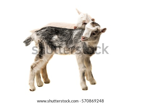 small goats isolated on white background #570869248