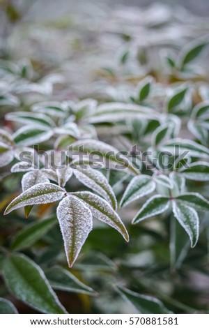 Frozen leaves in winter closeup #570881581