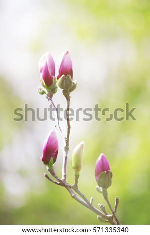 background of blooming magnolias. Flowers. Selective focus.  #571335340