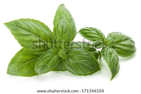 Close up studio shot of fresh green basil herb leaves isolated on white background. Sweet Genovese basil. #571346104